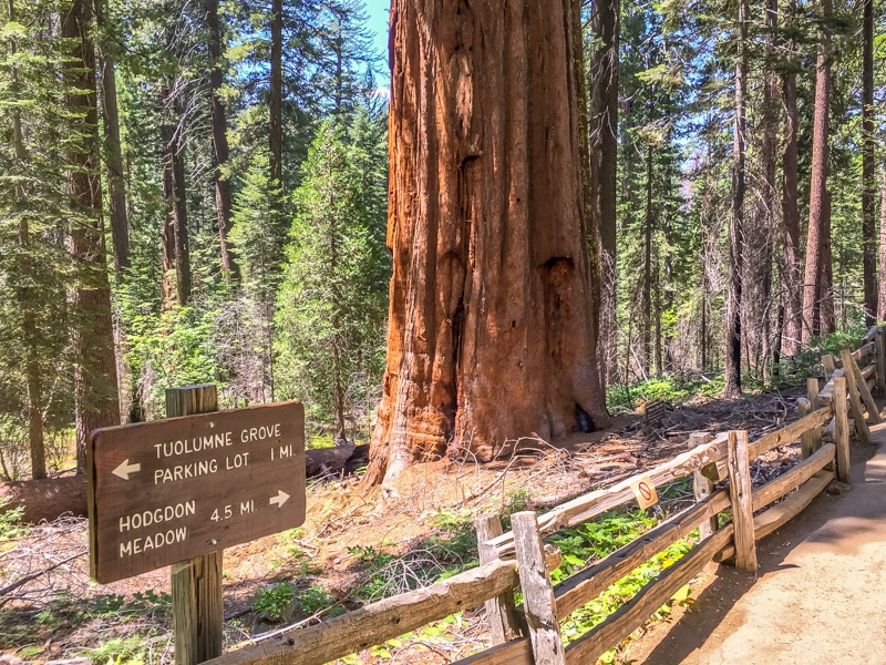 Giant Sequoia's in Tuolumne Grove
