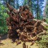 Omgevallen Giant Sequoia in Tuolumne Grove