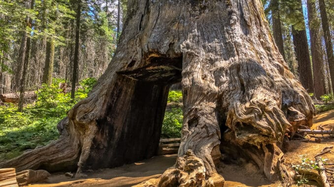 Giant Sequoia in Tuolumne Grove