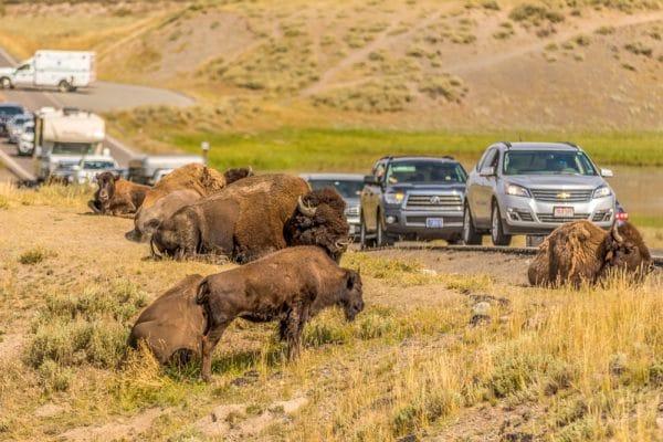 Bizons Yellowstone