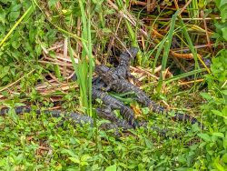 Everglades Alligator Nest